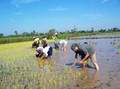 Projects Abroad volunteers harvesting rice with locals at the Khmer project, Cambodia