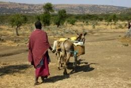 A local Maasai person leads a donkey transporting goods through the community in Tanzania where we have our volunteer cultural immersion project.