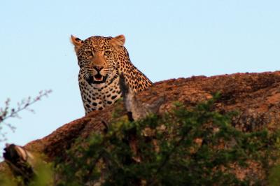 A leopard in its natural habitat