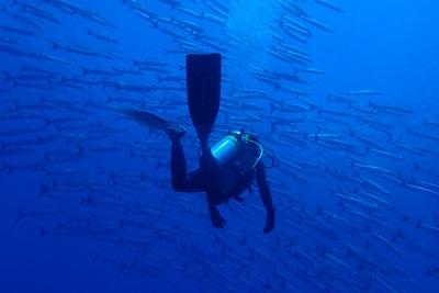 A volunteer swimming with over 700 barracudas