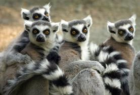 A group of ring-tailed lemurs at our volunteer Conservation placement in Madagascar.
