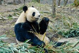 Volunteer in China for High School: Care & Panda