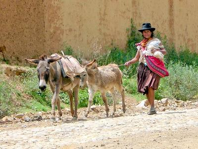 A local woman walks with two donkeys in Bolivia