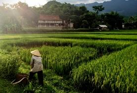 A local Vietnamese person cycles through a rice field near one of our volunteer language course placements.